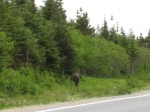 Moose at the side of the road