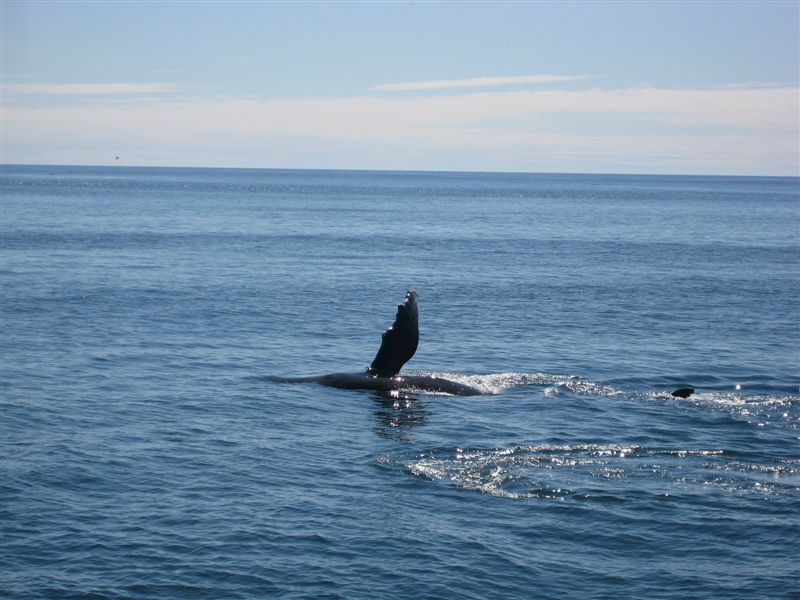 Humpback Whale Pectoral Fin