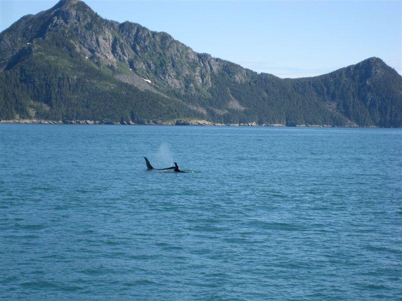 Orca (Killer) Whales