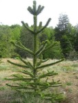 A small monkey puzzle tree