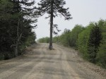 A large monkey puzzle tree splits the road